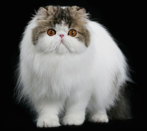 Miss Ashley- Persian Kitty