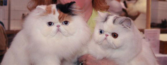 blue eye bicolor persians - show girls
