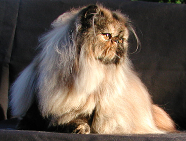 Persian Cat bath with Anna Cat Shampoo