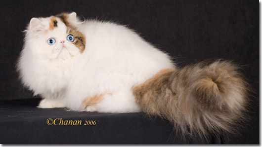 GC Purrinlot Anna Grand Champion- Blue eye bicolor Persian Cat