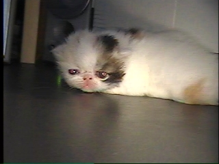blue eye persian cat- Anna's gift