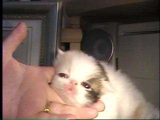 baby Anna- blue eye persian