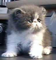 Persian Kitten 6 weeks
