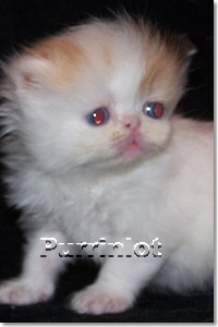 Purrinlot Fate- Blue eye bicolor