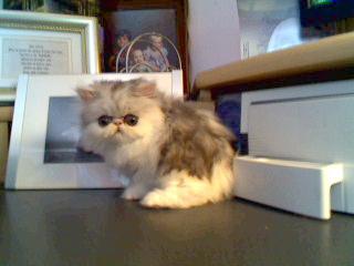 Joy 9 weeks- bicolor persian kitten