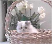 sassy persian kitten