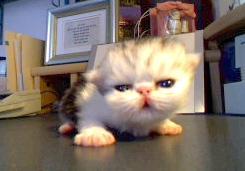 Kitten Joy- Eye Leap for Green
