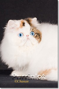 anna blue eye bicolor persian show cat