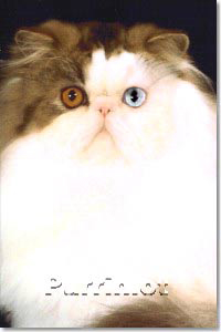 jacob odd eye bicolor persian show cat