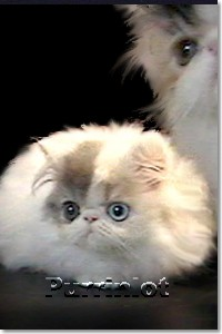 12 week old Persian kitten