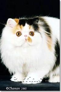 best of show, 4 month persian kitten