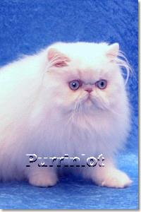 4 month old blue eye white kitten