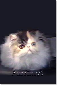 12 week Persian kitten