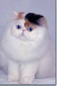 4 month old show persian kitten