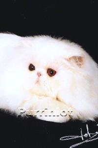 6 month old Persian kitten