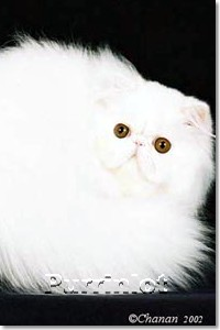 white kitten 4 months old