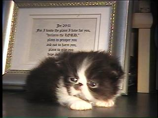 newborn persian kitten