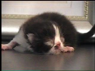 3 day old Persian Kitten