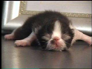Purrinlot Kitten Blog 30 Days In A Persian Breeders Life With Pkd