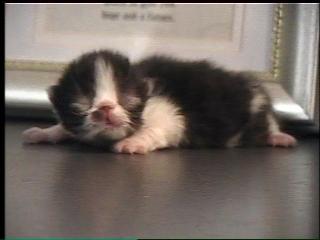 6 day old Persian kitten