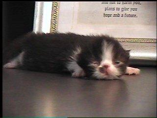 10 day old persian kitten
