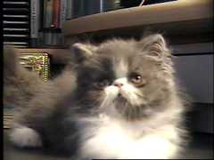 Purrinlot Persian Kitten Development Stages 12 Weeks Of