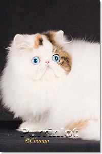 anna blue eye persian