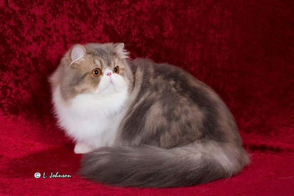 Mr Pompoy- Persian Kitty