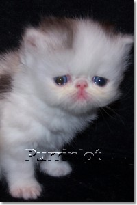 Purrinlot | Persian Kittens with Beautiful Pictures
