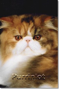 Purrinlot | Persian Kittens | Bi-Color Persian Cats | Virginia Cat