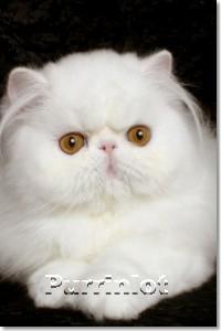 Purrinlot Daniel of Pironti- cat pictures